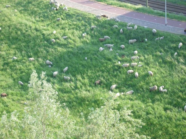 Rotterdam, De Esch. De schaapjes grazen langs de dijk, recht onder mijn raam.